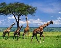 жираф - пример браузера в экологии